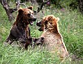 Bears playing - panoramio.jpg