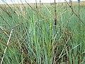 Beckmannia syzigachne (7450519290).jpg
