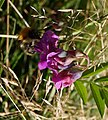 Bee on Bitter Vetch - geograph.org.uk - 577192.jpg
