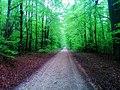 Beech grove - Flickr - Stiller Beobachter.jpg
