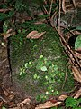 Begonia mildbraedii (Begoniaceae) (23816232774).jpg