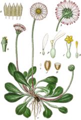 Bellis perennis, Sturm 1849, Abt.1, Bd. 20, XIX 2., beschnitten.png