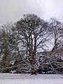 Bergahorn im Hirschpark Winter.jpg