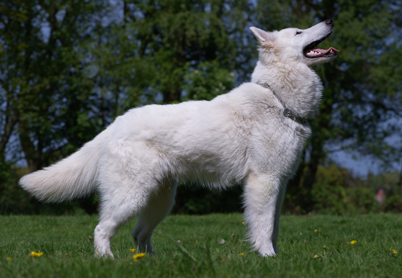 Ficheiro:Berger blanc suisse.png