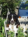 Bernese Mountain Dog on fence.jpg