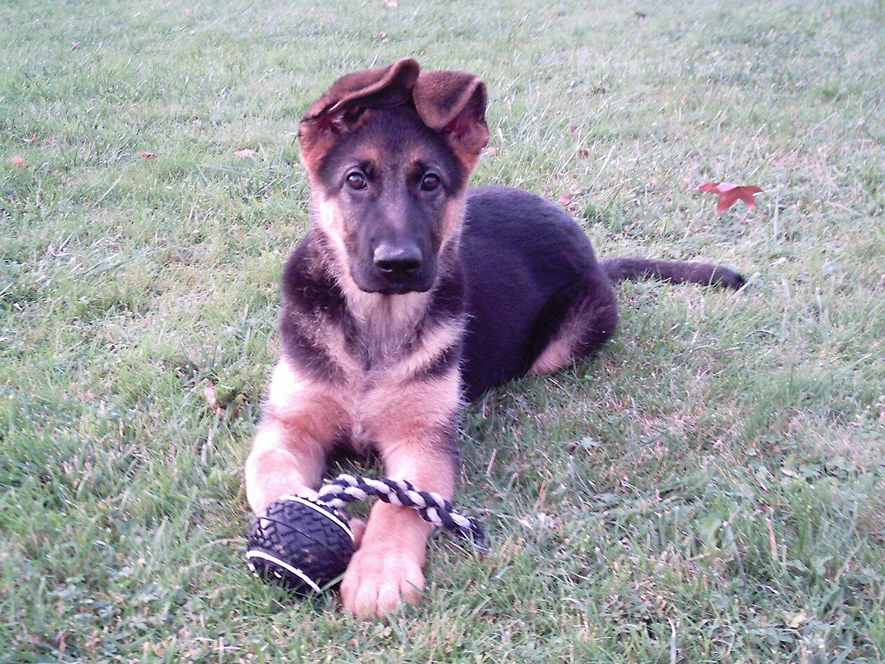 German Shepherd Puppies For Adoption In Rhode Island