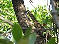 Biawak-Varanus salvator.jpg