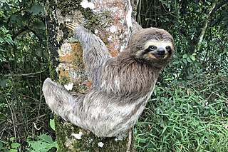 Sloth tree dwelling mammal noted for slowness