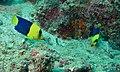 Bicolor Angelfishes (Centropyge bicolor) (8501953783).jpg