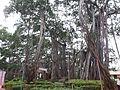 Big Banyan Tree 02.jpg