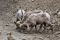 Big horn sheep lick.jpg