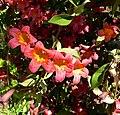 Bignonia capreolata 1.jpg