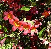 Bignonia capreolata 1