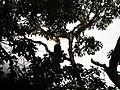 Bird Great Hornbill Buceros bicornis IMG 8659 12.jpg