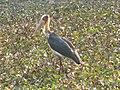 Bird Lesser Adjutant IMG 4698.jpg
