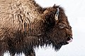 Bison calf tongue out.jpg