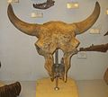 Bison priscus 4.JPG