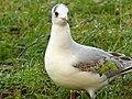 Black-Headed Gull (6702825245).jpg