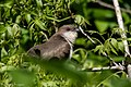 Black-billed Cuckoo Smith Oaks High Island TX 2018-04-15 10-09-54-3 (27078472747).jpg