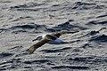 Black-browed Albatross (36536483156).jpg