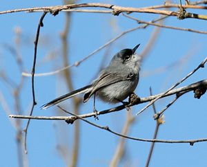 Black-capped gnatcatcher - Image: Black capped Gnatcatcher (Polioptila nigriceps) (16688757420)
