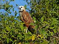 Black-collared Hawk (Busarellus nigricollis) calling ... (31396216560).jpg