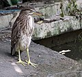 Black-crowned Night Heron (Imm.) I IMG 7687.jpg