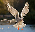 Black-headed Gull 2 - St James's Park, London - Nov 2006.jpg