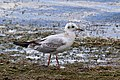 Black-headed gull (Chroicocephalus ridibundus) juvenile Standlake.jpg