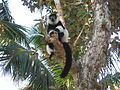 Black And White Ruffed Lemur, Île Aux Nattes (3957811999).jpg