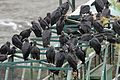 Black Vultures - Flickr - GregTheBusker.jpg