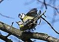 Blaumeise (Cyanistes caeruleus) im Grünfelder Park in Waldenburg. 2H1A3558WI.jpg