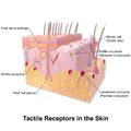 Blausen 0809 Skin TactileReceptors.png