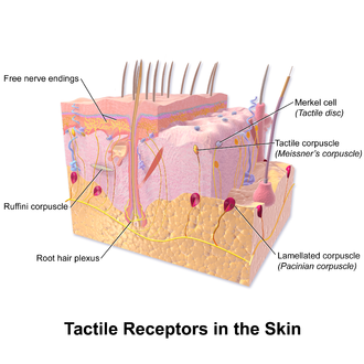 Mechanoreceptor - Tactile receptors.