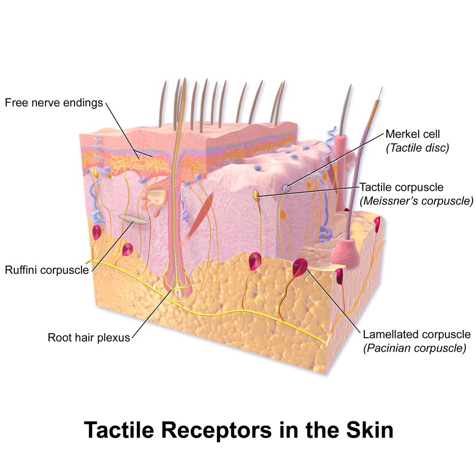 Blausen 0809 Skin TactileReceptors