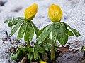 Bloemknoppen van Winterakonieten (Eranthis hyemalis) in smeltende sneeuw 16-02-2021. (d.j.b).jpg