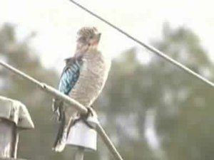 File:Blue-winged Kookaburra.ogv