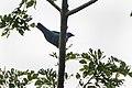 Blue Cuckoo-Shrike - Bobiri - Ghana 14 S4E3210 (16017863277).jpg