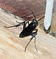 Blue Mud Wasp. Chalybion californicum. Sceliphrinae (38541213216).jpg