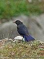 Blue Whistling Thrush (Myophonus caeruleus) (15709141160).jpg