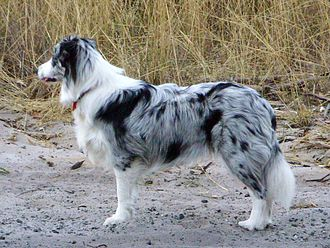 Border Collie - Blue merle Border Collie.