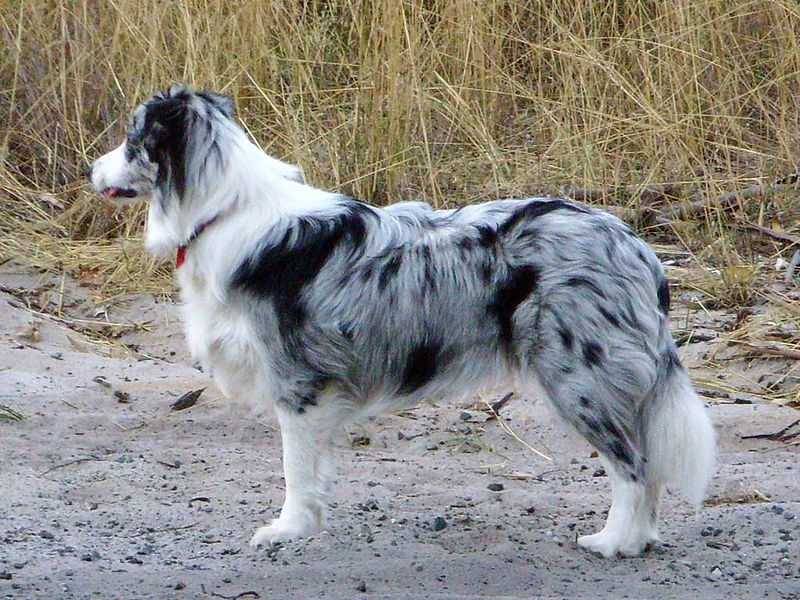 Plik:Blue merle Border Collie.jpg