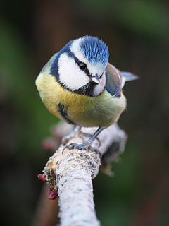 Blue tit facing camera.jpg