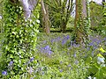 Bluebells and Ivy, Castletown - geograph.org.uk - 173706.jpg