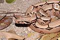 Boa constrictor in Lençóis Maranhenses National Park - ZooKeys-246-051-g006-D.jpeg