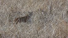 220px-Bobcat_in_San_Rafael_Grassland_Arizona