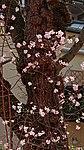 Bodnant Schneeball im Valentingarten 07.jpg