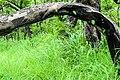 Bois arc-bouté dans le pâturage naturel de Samiondji (Covè).jpg