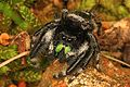 Bold Jumper - Phidippus audax, Tennessee National Wildlife Refuge, New Johnsonville, Tennessee.jpg