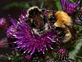 Bombus lucorum, White tailed bumblebee and Bombus pascuorum, Common carder bee 6-22-11.jpg